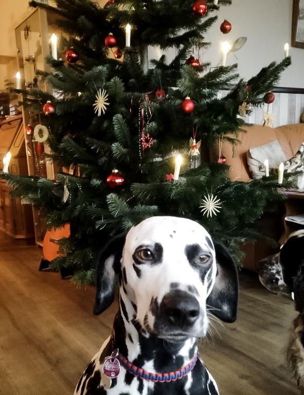 Tolle Weihnachtsbilder.Dalmatiner Vom Hause Picolino Weihnachten 17